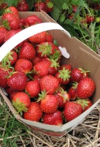 panen-strawberry