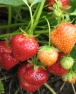 pohon-strawberry